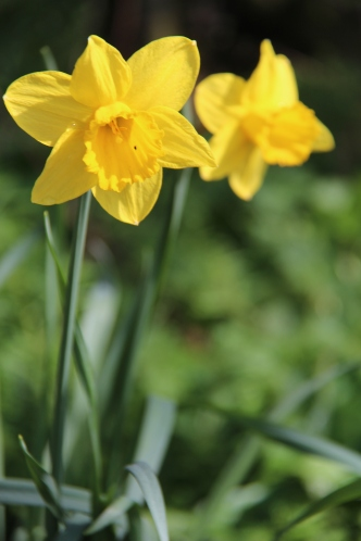 Daffodils in April